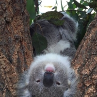 koalasenpai