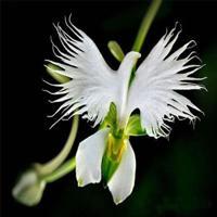 50pcs pack rare japanese white dove orchid seeds beautiful bird shape .jpg 640x640 big thumb